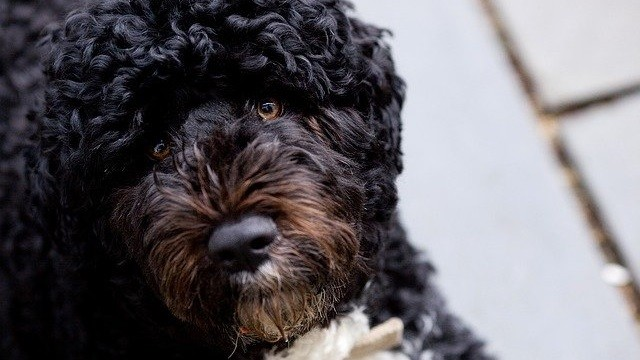 5 Hypoallergenic Dogs You Should Consider