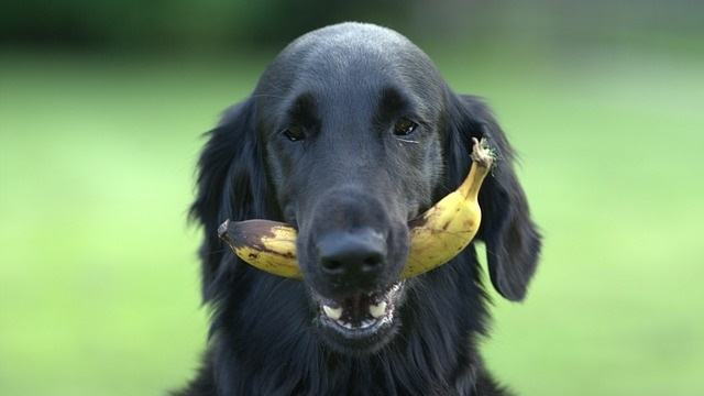 Can Dogs Eat Bananas? What About Cats?